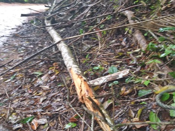 Ventos fortes voltam a derrubar galhos de árvores e folhas em estrada em Marechal Floriano