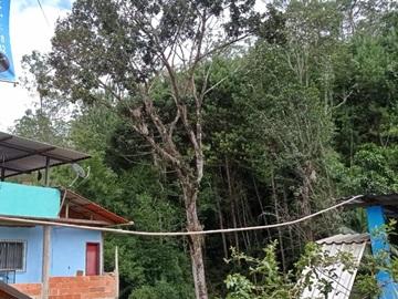 Prefeitura promete cortar árvore que ameaça cair em casas em Marechal Floriano
