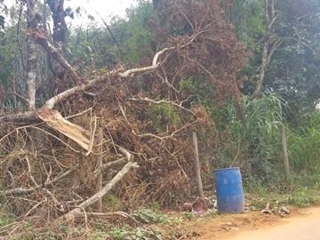 Árvores que ameaçam cair em rodovia entre Marechal Floriano e Alfredo Chaves serão cortadas